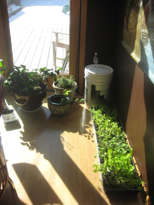 I brought the lettuce up to a sunny spot today before cutting for dinner.